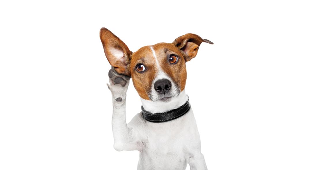 Cuide los oídos de su perro